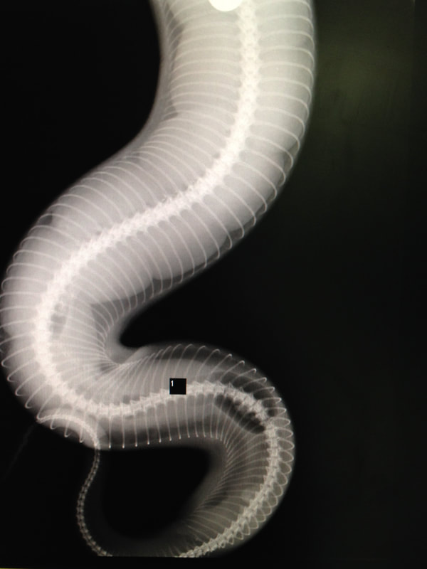X-ray of a pregnant snake